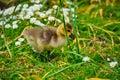 Canada goose goslings Royalty Free Stock Photo