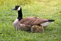 Canada goose goslings a female is protecting two little under her wings Royalty Free Stock Images