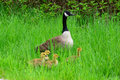 Canada goose and goslings Royalty Free Stock Photo