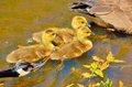 Canada goose goslings a sitting in a pond Stock Images