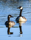 Canada goose mother and gosling on blue pond in walton county georgia Stock Images