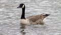 Canada goose one bird swimming in windy canal Stock Images
