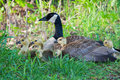 Canada goose sitting on a nest with her goslings nesting next to lake Stock Photo