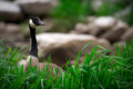 Canada goose standing in grass a curious branta canadensis pokes his head up above tall lush green canadian wetlands Stock Images
