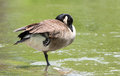 Canada goose standing on one foot in the ottawa river poses whilst sunning himself a rock Royalty Free Stock Photo