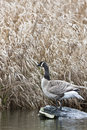 Canada Goose standing on the rock Royalty Free Stock Image