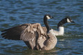 Canada goose streching wings on water Stock Image