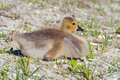 Canada gosling goslings sitting on the shoreline Stock Photo