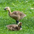 Canada Goslings Stock Photos