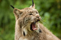 Canada lynx close up portrait of with heavy yawn Stock Photography