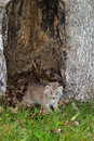 Canada Lynx (Lynx canadensis) Kitten Crawls Out from Hollow Tree Royalty Free Stock Photo