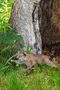 Canada Lynx (Lynx canadensis) Kitten Pounces Left Royalty Free Stock Photo