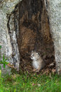 Canada Lynx (Lynx canadensis) Kitten Sits in Hollow Tree Royalty Free Stock Photo
