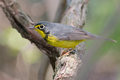 Canada warbler male on the alert close up profile of perched branch magee marsh nwr ohio Royalty Free Stock Photography
