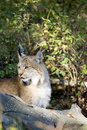 Canadese Lynx Royalty-vrije Stock Afbeeldingen
