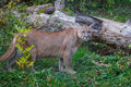 Canadian cougar is standing about broken tree