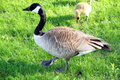 Canadian Geese Royalty Free Stock Photo
