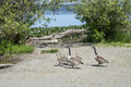 Canadian geese with a baby ducklings Royalty Free Stock Photo
