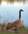 Canadian Geese with baby goslings next to Sylvan Lake in Custer State Park in the Black Hills of South Dakota Royalty Free Stock Photo