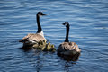 Canadian geese couple Royalty Free Stock Photo