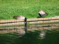 Canadian Geese Drinking Royalty Free Stock Photography