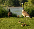 Canadian geese family photo of a and goslings taken on the scenic maumee river in northwest ohio Stock Photo