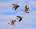 Canadian geese in flight flying golden evening sunlight Royalty Free Stock Photos