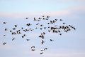 Canadian geese in flight a large flock of flying a bright winter sky Royalty Free Stock Photo