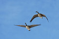 Canadian geese in flight a pair of flying a blue sky Royalty Free Stock Photography