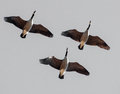 Canadian geese in flight this trio of was part of a sky filling flock taking over the gilbert riparian preserve arizona Stock Photos