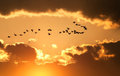 Canadian Geese Fly at Sunset Stock Images