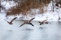 Canadian geese flying over a lake in central kentucky in winter Stock Image