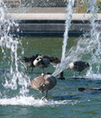 Canadian geese in fountain Royalty Free Stock Photo