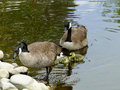 Canadian geese a gander and goose take their goslings safely to shore Royalty Free Stock Images