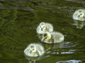 Canadian geese goslings go for a swim in a pond Royalty Free Stock Images