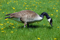 Canadian geese on the grass Royalty Free Stock Photo