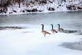 Canadian geese on a lake in central kentucky in winter Stock Photos