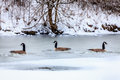 Canadian geese on a lake in central kentucky in winter Royalty Free Stock Photos