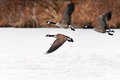 Canadian geese taking flight over a frozen lake flock of Stock Photo