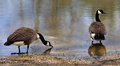 Canadian geese by the water a pair of resting Royalty Free Stock Image
