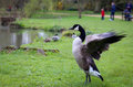 Canadian Goose Flapping Wings in Oxford University Parks
