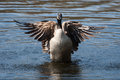 Canadian goose flapping wings in soft focus the water Royalty Free Stock Photos