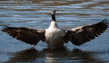 Canadian goose flapping wings in soft focus the water Stock Photos