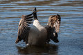 Canadian goose flapping wings in the water Stock Photography