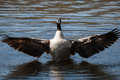 Canadian goose flapping wings in the water Royalty Free Stock Image