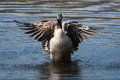 Canadian goose flapping wings in the water Royalty Free Stock Photo