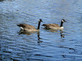 Canadian goose and gander a pair of geese swim on a pond in boise idaho Royalty Free Stock Images