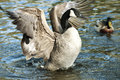 Canadian goose geese spreading its wings in water Stock Photo