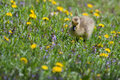 Canadian goose gosling resting and eating in the grass Stock Photos