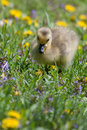 Canadian goose gosling resting and eating in the grass Royalty Free Stock Photo